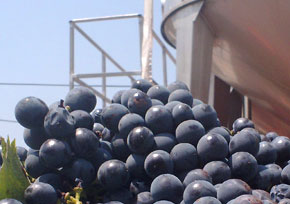 ענבי יין שחורים לייצור יינות